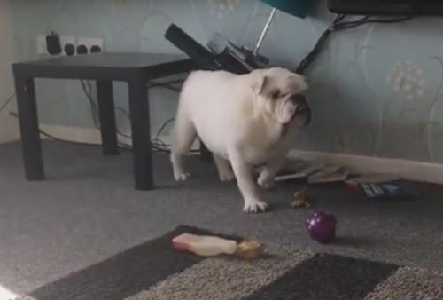 бульдог застрял под столиком