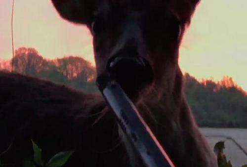 Олень не испугался охотника и принялся лизать его ружьё