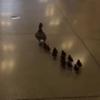 утка с утятами в школе