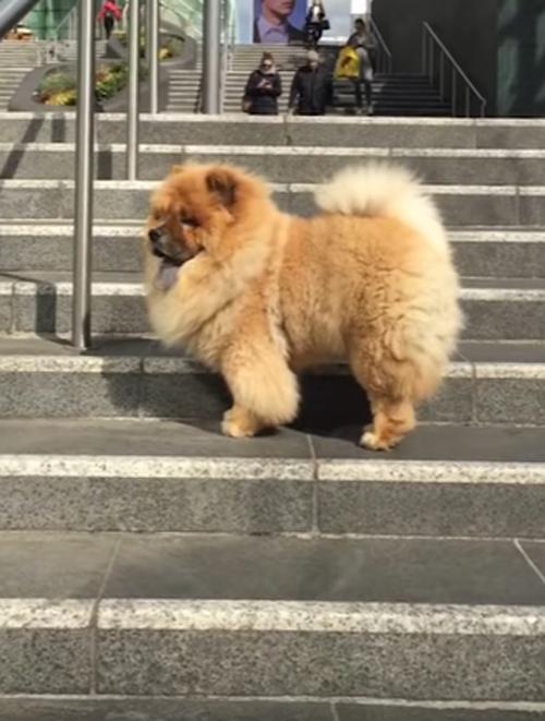 пёс похож на плюшевого мишку