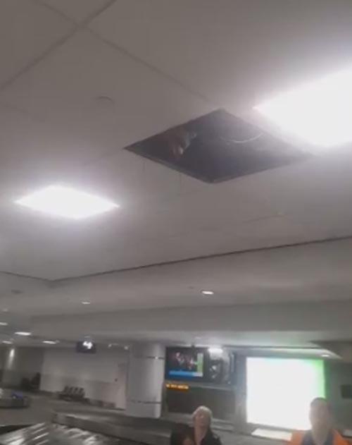 енот в аэропорту