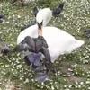 лебедь расшвырял голубей