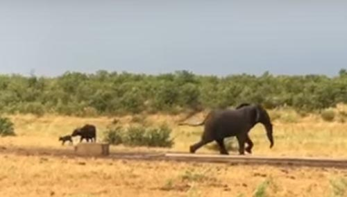 храбрый детёныш буйвола
