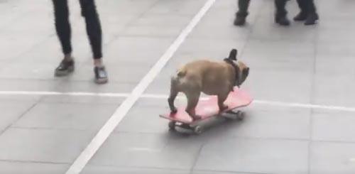 бульдог на скейтборде