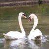лебедя освободили от рыболовного крючка