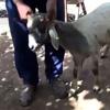 овца со ртом в ухе