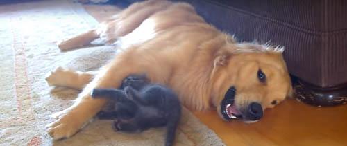 котёнок пристаёт к псу