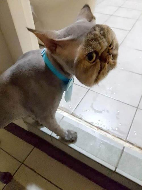 кот с ужасной стрижкой