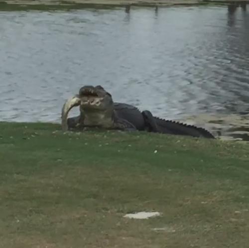 аллигатор с большой рыбой