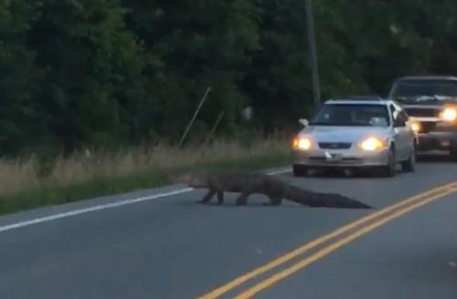 аллигатор перешёл дорогу