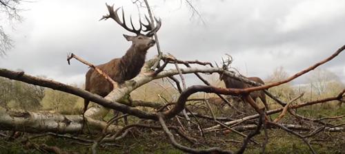 олени чешутся об ветки