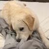 щенок мешает хозяйке