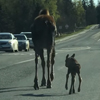 лосиха и её детёныш на прогулке