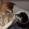 собака разбудила сестру
