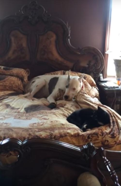 дог не разбудил кота на кровати
