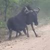антилопа-гну притворилась мёртвой