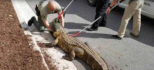 аллигатор возле магазина