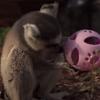 лакомства и игрушки для лемуров