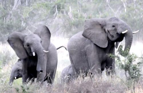 пчёлы повергли в бегство слонов