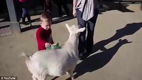 пукнувшая коза напугала ребёнка