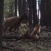 лосиха против медведя