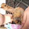 курица с изогнутой шеей