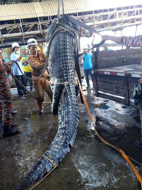 пожарные 10 часов спасали крокодила