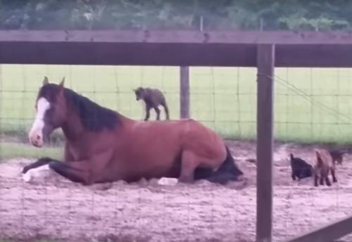 конь стал нянькой для козлят