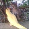 котёнок не захотел дружить с попугаем