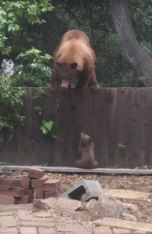 медвежонок перед высоким забором
