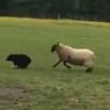 овца поменялась ролями с овчаркой