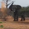 слон отогнал носорогов песком