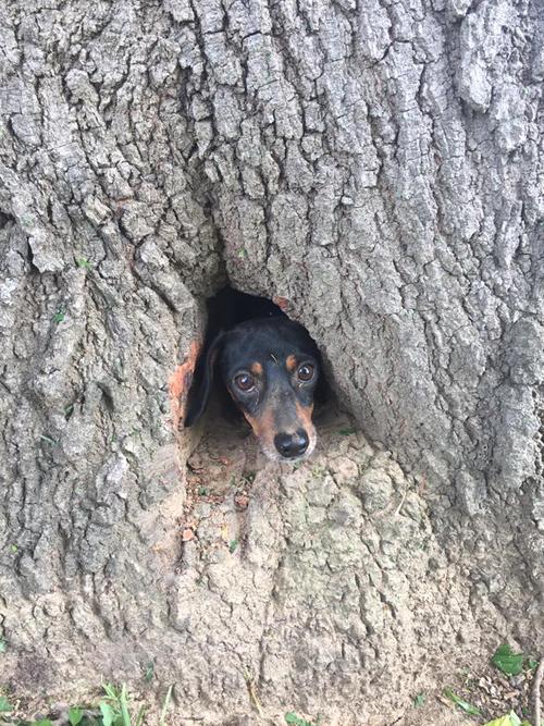 такса застряла в дереве