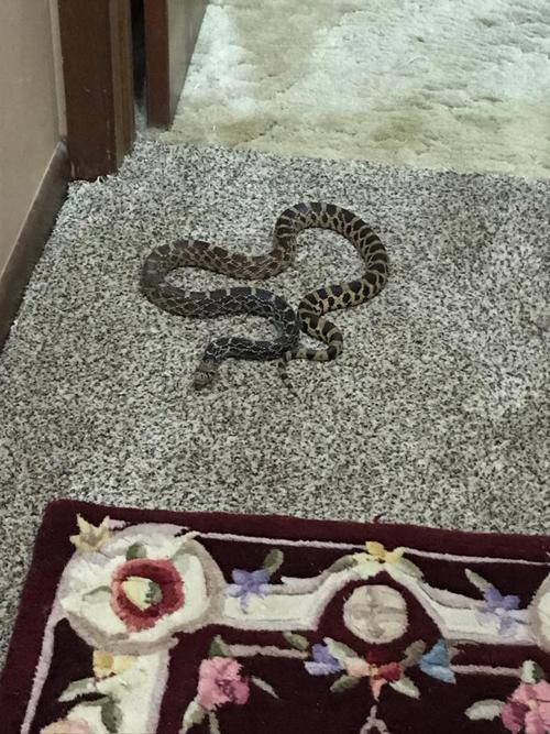 змея спала на кровати