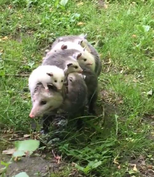 мама-опоссум с детёнышами