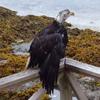 орёл плыл по воде