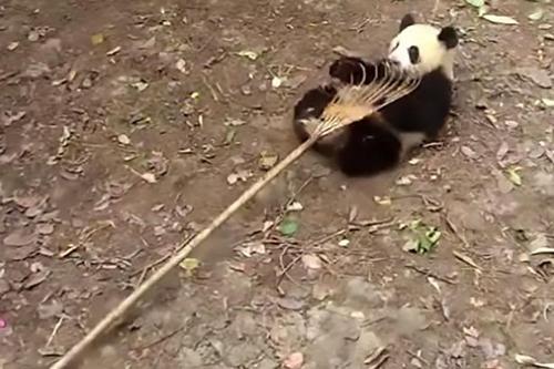 панды помогли с уборкой