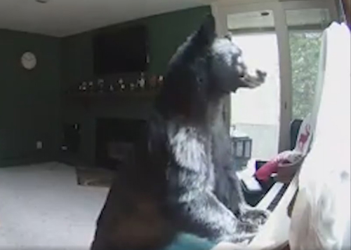 медведь сыграл на пианино