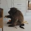 бабуины проникли в апартаменты