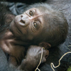 горилла исчезающего вида родила