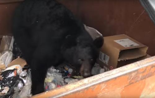 медведь в мусорном баке