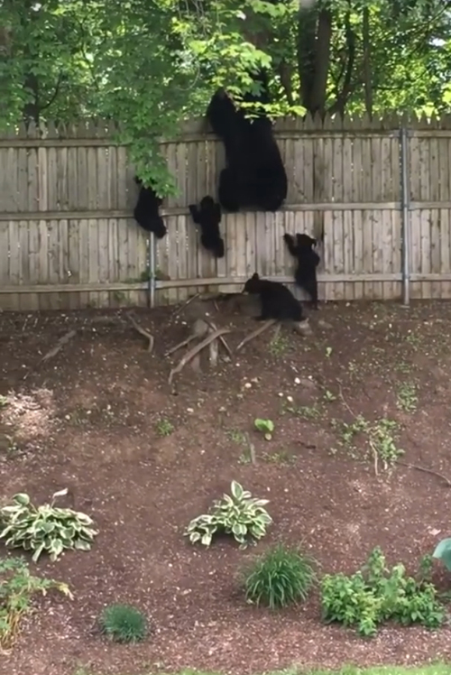 медвежата перелезли через забор