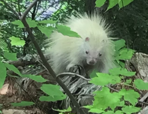 белого дикобраза сняли на видео
