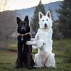 фотосессия двух овчарок
