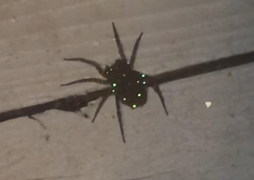 самка паука выглядела мерцающей