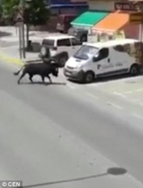 сбежавший бык перевернул мотоцикл