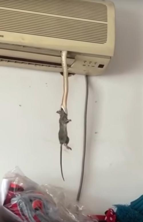 голодная змея убила крысу