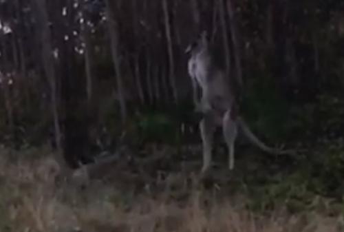 собака подралась с кенгуру