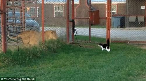 кошка охотится на льва