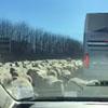 столпотворение овец на шоссе